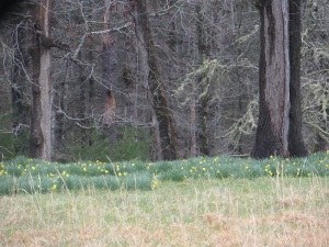Daffodils blooming in Cades Cove, Smoky Mountains!