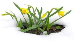 daffodils in snow