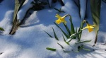 daffodils_in_snow_Wallpaper_caq12