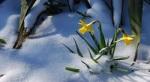daffodils_in_snow_Wallpaper_caq12