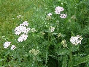 yarrow achillea millefolium grows from 10 to 20 inches high a single ...